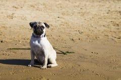 Dog pug walks on the sandy beach near the river. Stock Image