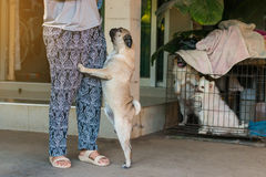 Dog pug was glad that Stock Photo