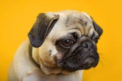 Dog pug on a yellow background stock image