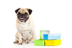 Dog pugdog boxes isolated on white background, gift Stock Images