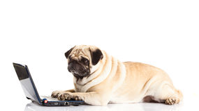 Dog pugdog computer isolated on white background laptop modern technology Royalty Free Stock Photo
