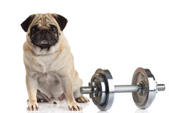 Dog pugdog dumbbell isolated on white background sport concept Stock Photo