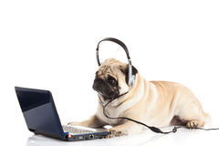 Dog pugdog med headphonen som isoleras på den vita bakgrundsarbetaren av callcenterdatoren Arkivfoton