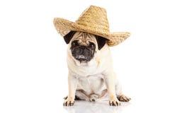 Dog pugdog mexican hat isolated on white background Stock Photos