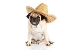 Dog pugdog Mexican hat isolated on white background Stock Image