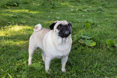 Dog pugdog outdoor animal park breed pet Royalty Free Stock Photos