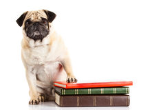 Dog pugdog  und books isolated on white background Stock Photography