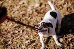 Dog pulling its leash holding it in mouth playing tug-of-war Stock Photos