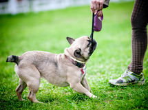 Dog pulling the leash Royalty Free Stock Image