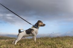 Dog is pulling on the leash - jack russell terrier stock photo