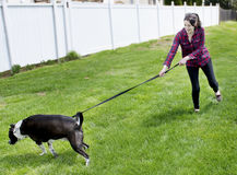 Dog pulling on leash. Mixed breed dog pulls a young woman while being walked Royalty Free Stock Photos