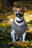 Dog pullover Stock Photography