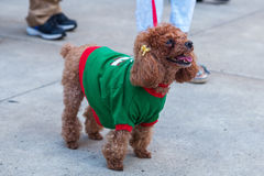 Dog with pullover in the city Royalty Free Stock Photos