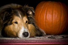 Dog with pumkin royalty free stock image