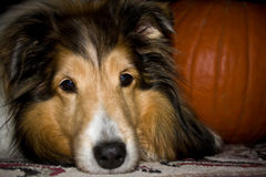Dog with pumkin close up stock images
