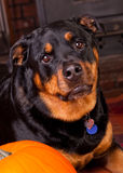 Dog with a Pumpkin Royalty Free Stock Images