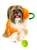 Dog in a Pumpkin Costume Stock Image