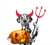 Dog with pumpkin in devils costume for Halloween Royalty Free Stock Images