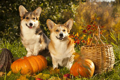 Dog and pumpkin Stock Image