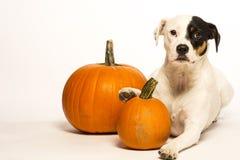 Dog and pumpkin Royalty Free Stock Photos