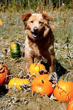 Dog with Pumpkins Royalty Free Stock Image