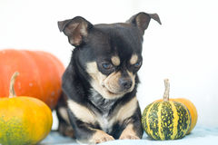 Dog with Pumpkins squash Stock Photo