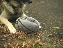 Dog And Punctured Ball. A dog guarding a punctured ball, outdoor cropped image stock photos