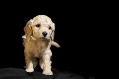 Dog puppie. Small puppie over a black background, space in right side for text, objects stock image