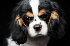 Dog puppie. Cavaler king charles spaniel on dark background Royalty Free Stock Image