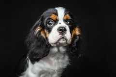Dog puppie. Cavaler king charles spaniel on dark background Stock Photo