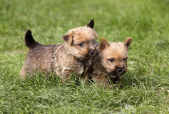 Dog puppies Stock Image