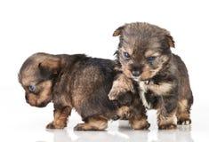 Dog puppies Royalty Free Stock Photos
