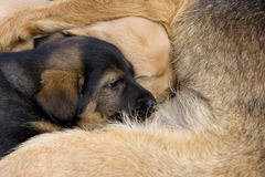 Dog puppies. Two dog puppies lying beside their mother Stock Image