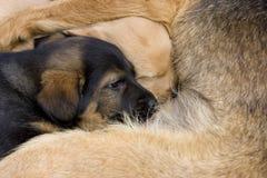 Dog puppies Stock Image