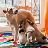 Dog and puppies Stock Image