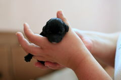 Dog puppies. Black dog puppies sleeping now after birth in hand stock image