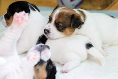 Dog puppies, born four week ago. Purebred Jack Russell terrier. Dog puppies, born four week ago. Purebred Jack Russell terriers royalty free stock photo