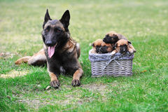 Dog  with puppies Royalty Free Stock Photo