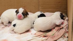 Dog puppies Jack Russell terrier right after birth. They lie on bed. Dog puppies Jack Russell terrier right after birth. They lie on the bed Stock Photos