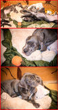 Great Dane puppies  Stock Images
