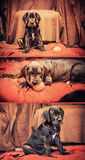 Great Dane puppies Royalty Free Stock Photo