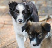 Dog Puppies Looking in Camera. Cute little dog puppies looking into the Camera. One of them is of Border Collie breed royalty free stock photo