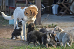 A dog and puppies. A dog and a lot of puppies stock photo