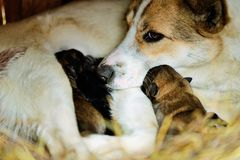 Dog with puppies Royalty Free Stock Photography