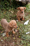 Dog Puppies. Two abandoned dog puppies in a field and looking for food to survive royalty free stock photography