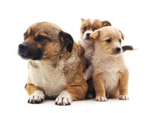 Dog and puppies. On a white background royalty free stock image