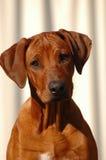Dog puppy. A Rhodesian Ridgeback hound dog puppy head portrait watching other dogs Stock Image