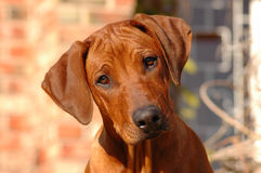 Dog puppy. A cute little beautiful Rhodesian Ridgeback hound dog puppy watching other dogs in the garden stock image