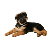 Dog Puppy. Cute german shepherd puppy isolated on white background Stock Image