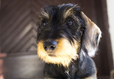 Dog puppy. Dachshund breed wire haired Stock Images